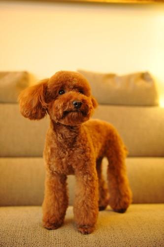 フリー画像| 動物写真| 哺乳類| イヌ科| 犬/イヌ| トイ・プードル|      フリー素材|