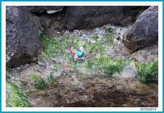 PAVO ENTRE MARES (antonioanvie) Tags: flores mar murcia animales toro margaritas playas rocas pavos fotografias mazarron bolnuevo elleontranquilo