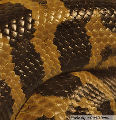 Snake skin (anncurriew) Tags: scales python snakeskin blackandbrown