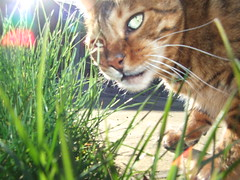 rarw (Lisa Katherine Lenore Brown) Tags: tree grass cat outside pretty stripes tiger sunny
