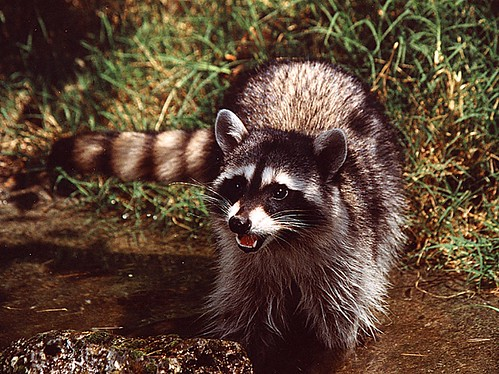1coon