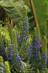 Plant Life at the Los Angeles Zoo (MickiP65) Tags: california flowers blue newzealand wild plants usa plant flower nature beauty gardens garden botanical outdoors zoo us losangeles spring pretty wildlife creation socal bloom northamerica plantae lazoo botany botanicalgardens botanicalgarden 2009 biennial allrightsreserved perennial losangeleszoo zoos blooming copyrighted echium prideofmadeira boraginaceae echiumfastuosum angiosperms 040209 echiumcandicans eudicots canoneos30d michellepearson asterids 04022009 apr022009