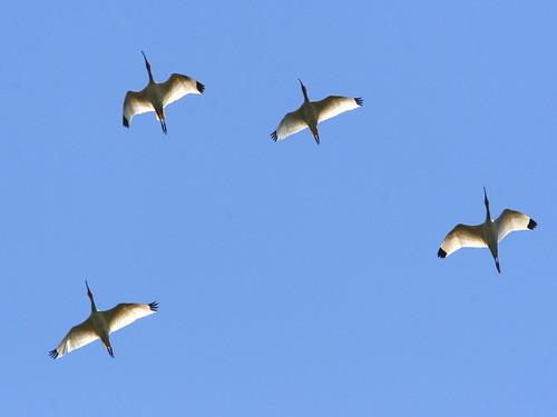 White Ibis Vee 20090408