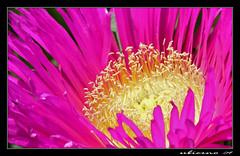 Happy Easter ! (Ubierno) Tags: pink flower primavera fleur rose yellow spring blossom flor rosa amarillo mesembryanthemum printemps aplusphoto flickraward ubierno acinaciform