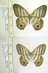 Chloreuptychia herseis