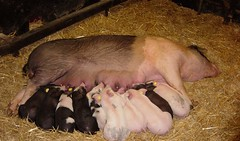 Crowded! (Ameliepie) Tags: pink black cute animals season pig spring farm crowd mother hay piglet motherhood stable