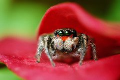 Adult Male Jumping Spider Hiding in Leaves - (Habronattus coecatus) (Thomas Shahan) Tags: red macro slr oklahoma face up k vintage hair lens 50mm prime spider jumping eyes close pentax takumar zoom arachnid flash small norman just reversed dslr portraite smc vivitar softbox diffuser opo entomology arachnology macrophotography bayonet salticid f17 salticidae thyristor habronattus terser k200d macrolife opoterser coecatus