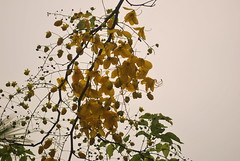 DSC_0982 (prasanthabythomas) Tags: flower kerala kanikonna