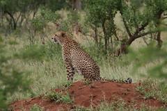 Cheetah, Lower Sabie, Kruger (waldrapp) Tags: cheetah kruger lowersabie