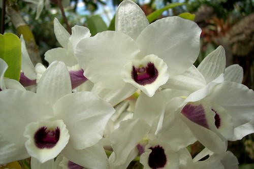 "Dendrobium yukidaruma ""the king"""