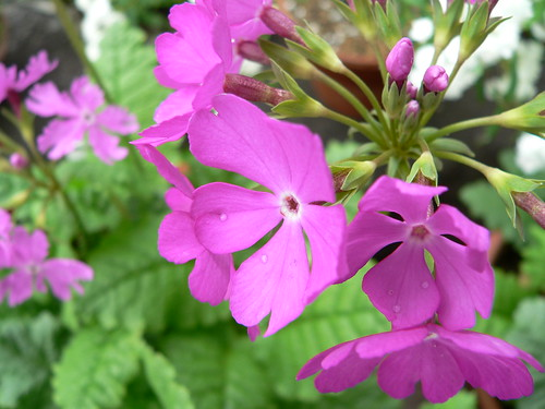 Lila Blüten mit Tautropfen