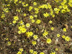 Lots of yellow (Madrone Soda Springs (historical), California, United States) Photo