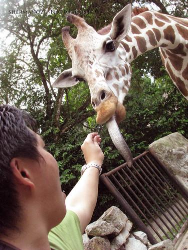 Shermanoz - Giraffe