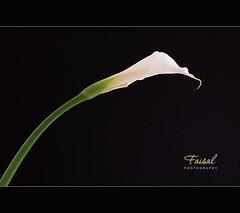 Life just go on (Faisal   Photography) Tags: white black flower green 2009 canonef100mmf28macrousm canoneos50d faisalphotography lifejustgoon zantedeschiaflower