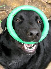 dog pet silly toy lab labrador play moose ring labradorretriever