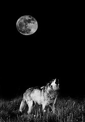 Howl at the Moon (MattGerlachPhotography) Tags: pictures moon photography call forsale wildlife fineart fullmoon sing prints hunter sell howl greywolf wolfpark lafayetteindiana battlegroundindiana mattgerlachphotography mattgerlach