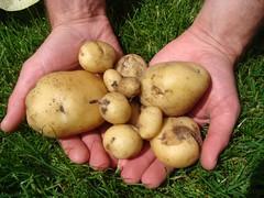 Eerste aardappel oogst Een hand vol