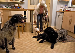 Yesterday We Had A Full House (me'nthedogs) Tags: home dogs kitchen tom snaps shirley visitors fivedogs sgaggydogs
