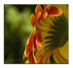 Citrico. (En la lente) Tags: naturaleza luz natura amarillo naranja silvestre vede platinumheartaward
