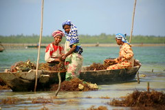 three women (Farl) Tags: africa sea seaweed work tanzania island coast women employment farm muslim farming zanzibar lowtide cultivation kanga pemba mariculture mjinikiuyu