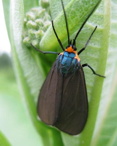 Virginia Ctenucha Moth 4