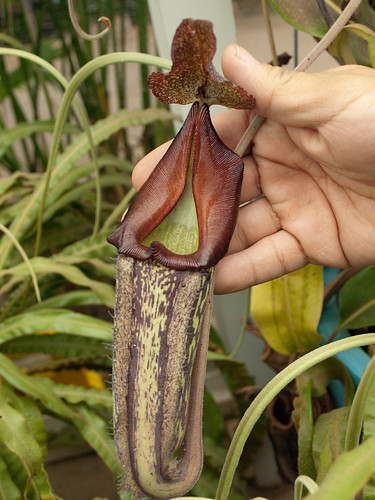 "Huntington Botanical Gardens: Nepenthes Maxima ""Dark"""