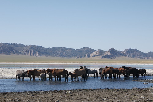 Semi-wild horses enjoying salt lake