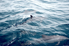 Dolphins (Rayan M.) Tags: life blue red sea cute animal swimming swim dolphin dolphins saudi arabia aquatic