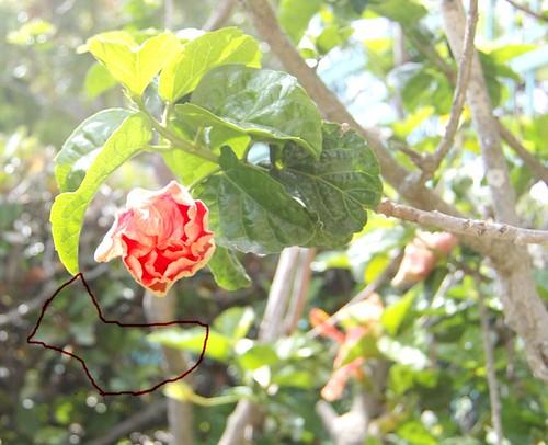 hibiscus_bud_june_2009