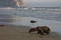 4 of 5 Distressed Sea Lion Pup Morro Strand (mikebaird) Tags: california sea abandoned beach water strand mammal bay sand lion seal morrobay pup sealion distressed morro injured morrostrand californiasealion motherless malnurished 29june2009