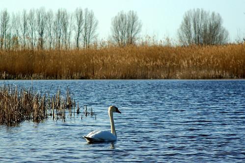 100/365: Swan