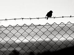 """Los Vagabundos del Dharma"" Jack Kerouak (Bibliotecas Municipais da Corua) Tags: libertad pjaro alambrada"