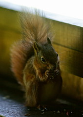 Back in the Hide (Peter G Trimming) Tags: red nature squirrel reserve peter mead trimming isle wight iow vulgaris 2011 sciurus alverstone