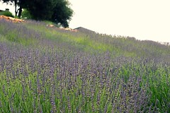 Looking Up the Hill (:KayEllen) Tags: landscape lavender charming hillside setting