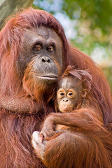 Orangutans (Evan Animals) Tags: red orange baby love loving tampa zoo holding hands close faces florida finger fingers mother sunny orangutan caring 6monthsold lowryparkzoo specanimal