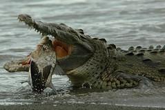Crocodile and Fish, part 5 (antonsrkn) Tags: wild fish nature nationalpark costarica eating reptile wildlife corcovado crocodile herp sirena centralamerica snook vulnerable osapeninsula predation americancrocodile iucn specanimal impressedbeauty iucnredlist