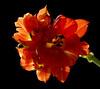 On fire ... (Ellen_Anne (mostly off)) Tags: flowers orange black nature fleurs natur blumen tulip schwarz fa tulpe onblack noire mywinners rubyphotographer oraclex weirenasfaves