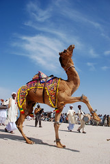 Cholistan Camel Dance (Raja Islam) Tags: pakistan dance jeep rally culture east camel heat punjab rider camels ahmed 2009 pur jokey cholistan rohi lovepakistan bhawalpur cholistanjeeprally2009