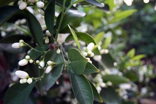 20090313-treebuds