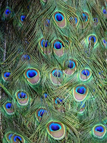 animals birds Paraná penas peacock grafism texture abstract