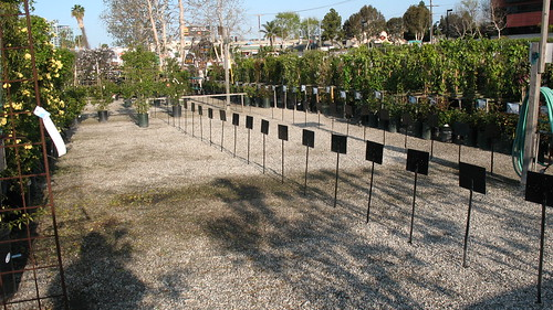 rows for roses