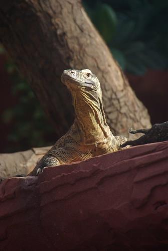 Young Komodo Dragon