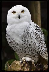 Snowy Owl (ShaunW (shandys_preston)) Tags: woods snowy lancashire owl turbary