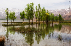 Spring Reflection (Falling Dreams) Tags: blue mountain snow reflection tree green water spring flickr iran persia swamp iranian             fallingdreams choghakhorswamp1
