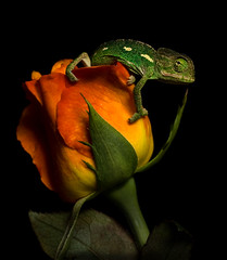 Chameleon on Rose (Karim Iliya Photography) Tags: life camera light red wild sun plant black flower green animal rose dark leaf stem flag flash spot off lizard eat national creature geo chameleon crawl geographic blend ngm storbist camonat