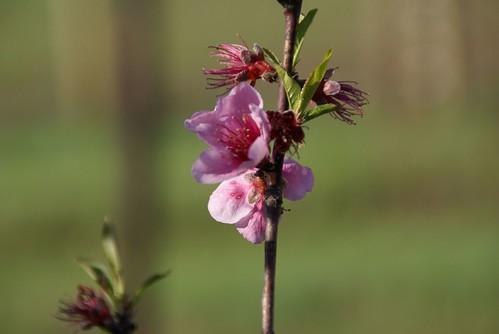 2009-03-25 (Peach Blossom)
