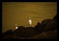 Choose Peace (maraculio) Tags: bird esplanade moa manilabay tone eb tgis artphotography mallofasia choosepeace maraculio falalalameteorgarden