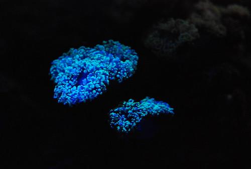 Phosphorescent anemone