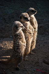 Meerkats saluting morning sun (ElseKramer) Tags: photography zoo rotterdam blijdorp dierentuin elsekramer
