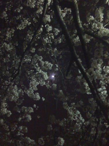 おぼろ月と桜4
